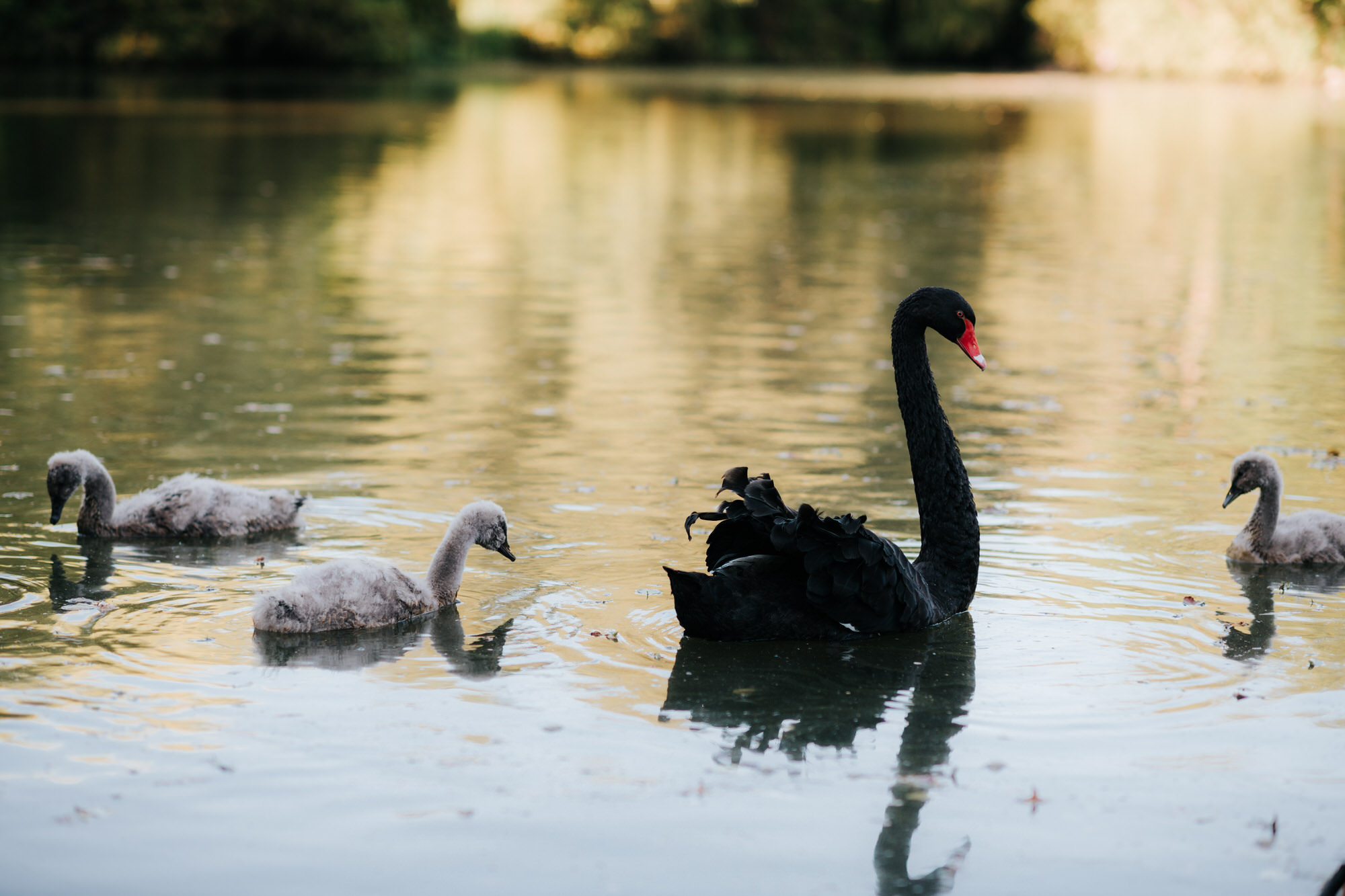 Black swan and signets on lake