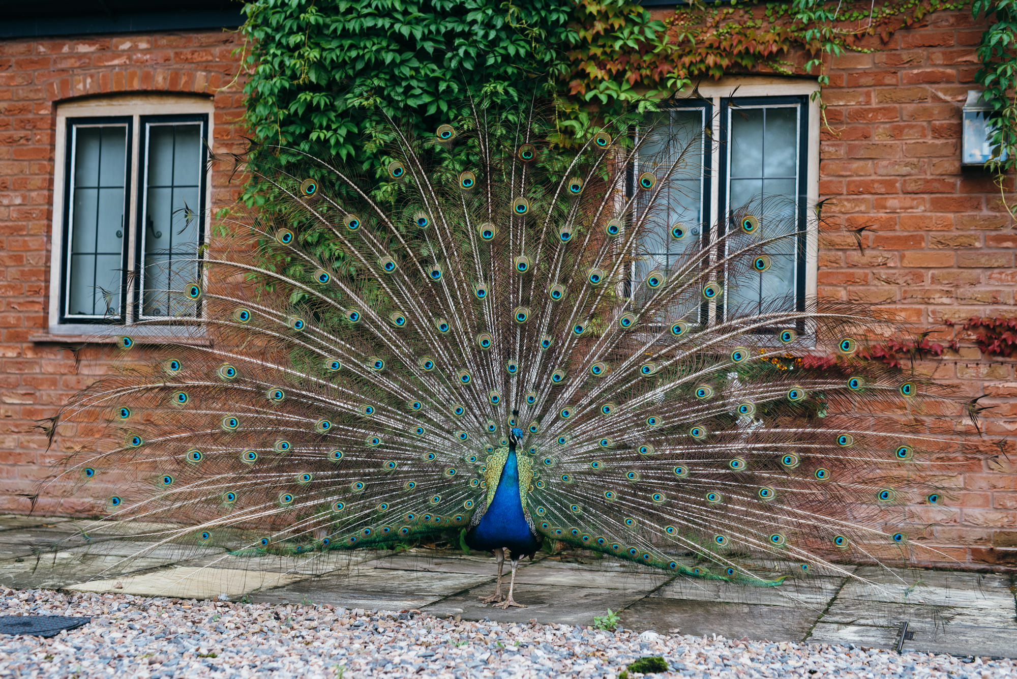 Peacock at maunsel house somerset
